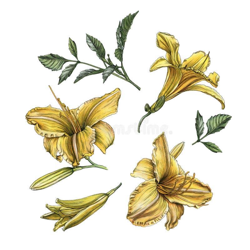 Blumen eingestellt von den Aquarelldaylilies und -blättern lizenzfreie abbildung