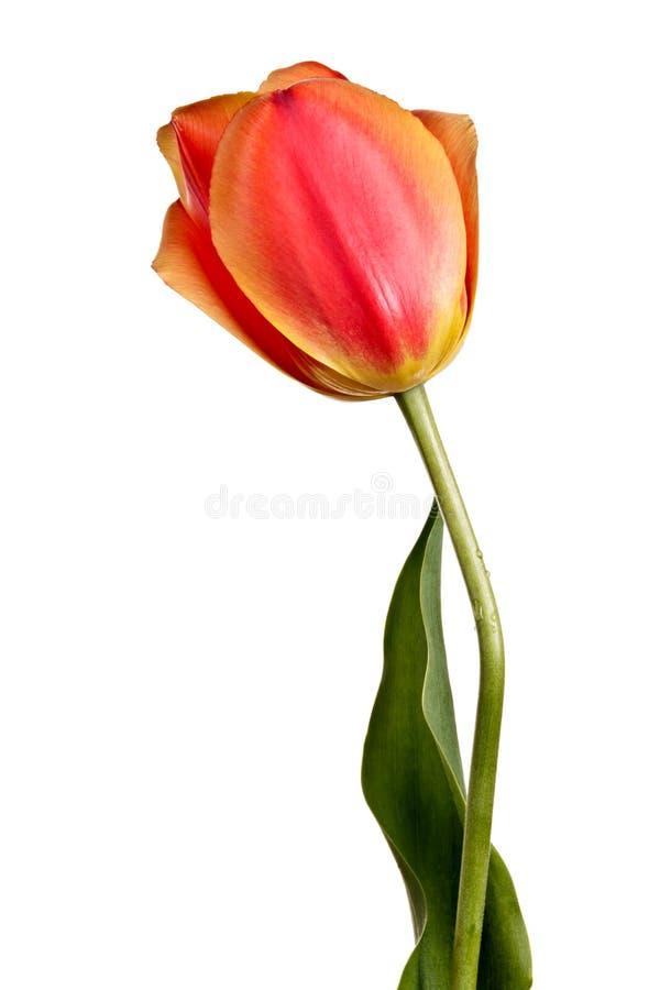 Blumen, einzelne Tulpe lokalisiert auf einem Weiß lizenzfreies stockbild