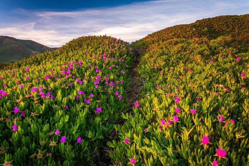 Blumen entlang einer Spur am Golden Gate-Staatsangehörig-Erholungsgebiet stockfotografie