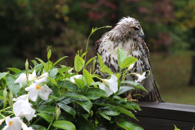 Blumen-Falke stockbild