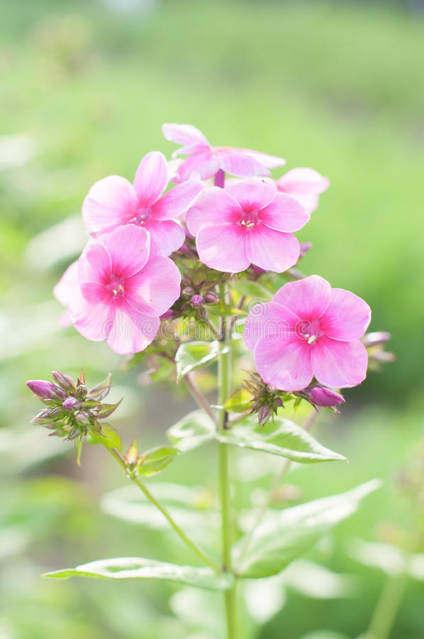 Blumen-Flammenblume gegen unscharfen grünen Hintergrund lizenzfreie stockfotografie