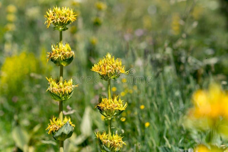 Blumen im De Sorteny Parc Natural de la Vall lizenzfreie stockbilder