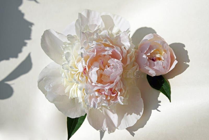 Blumen im Juni Pfingstrosenknospennahaufnahme Empfindliche weiße und rosa Blumenblätter lizenzfreie stockfotografie