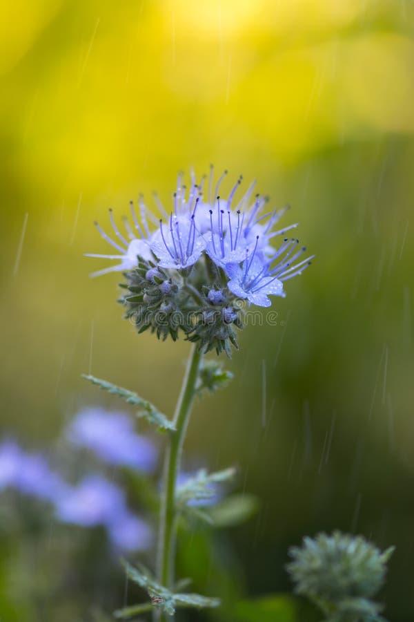 Blumen Im Regen Blaue Blumen Draußen Stockfoto - Bild von floral ...