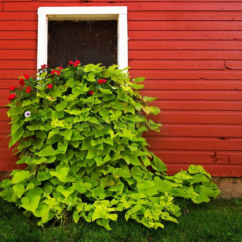 Blumen im roten Scheunen-Fenster lizenzfreie stockbilder