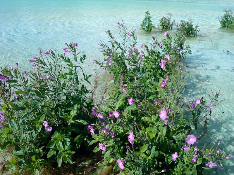 Blumen im Türkiswasser stockfotografie