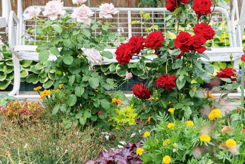 Blumen im Yard Rosenbusch blühen Blumen auf einem weißen Schwingenhintergrund stockbilder