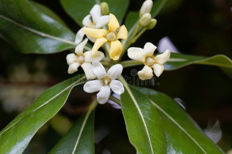 Blumen japanischen cheesewood Pittosporum-tobira lizenzfreies stockfoto