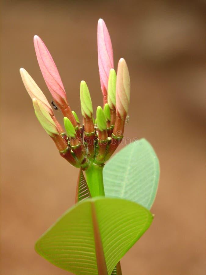 Blumen-Knospen lizenzfreie stockfotografie