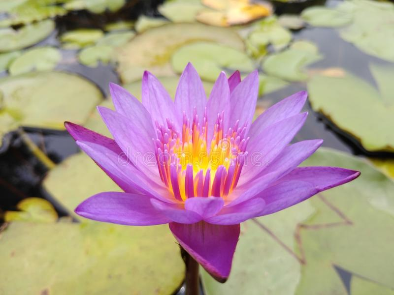 Blumen Lotus 123 lizenzfreie stockfotografie