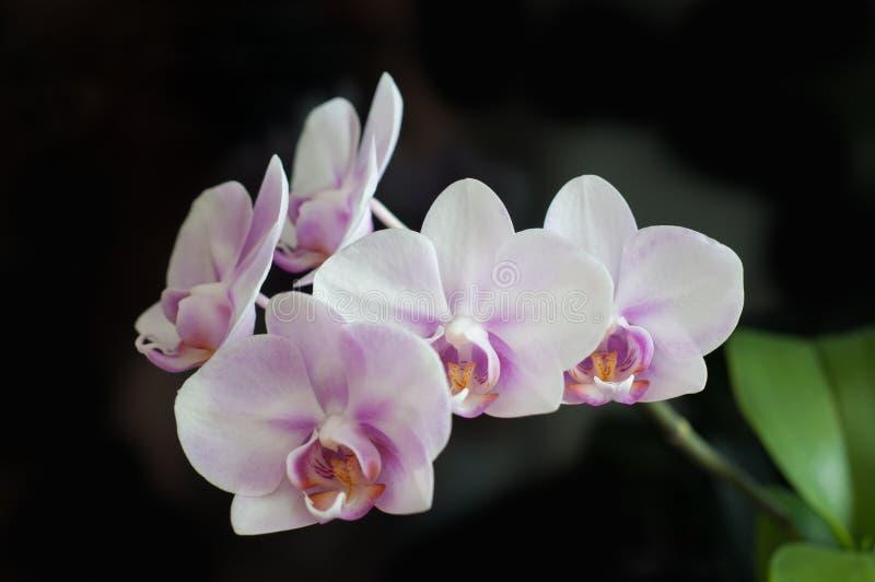 Blumen-Orchidee Phalaenopsis-Miki Sakura-Nahaufnahme auf dunklem Hintergrund stockfoto
