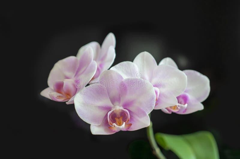 Blumen-Orchidee Phalaenopsis-Miki Sakura-Nahaufnahme auf dunklem Hintergrund stockfotos
