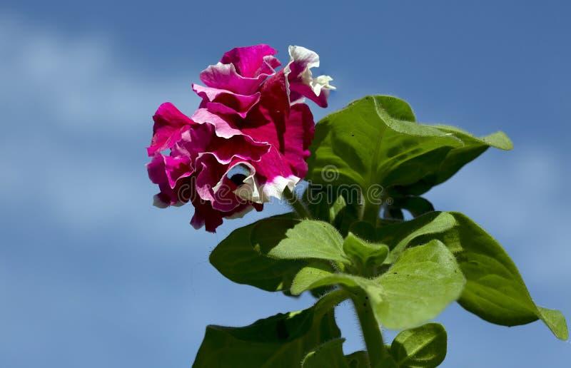 Blumen-Petunie Terry lizenzfreie stockbilder