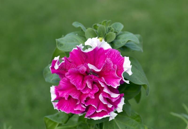 Blumen-Petunie Terry stockbilder