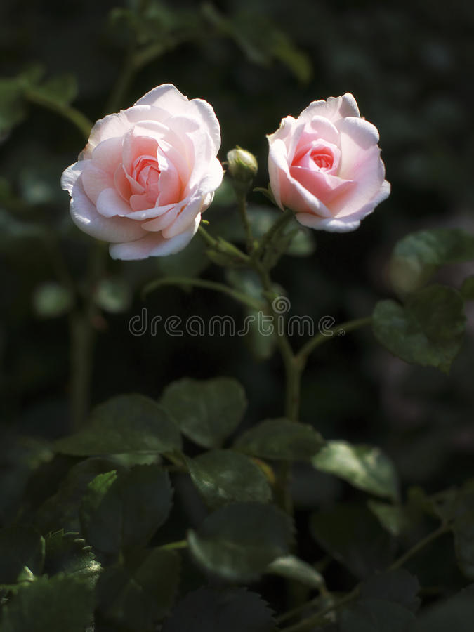 Blumen Rosen im Garten stockfotografie
