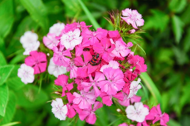 Blumen süßen William Dianthus-barbatus lizenzfreie stockbilder