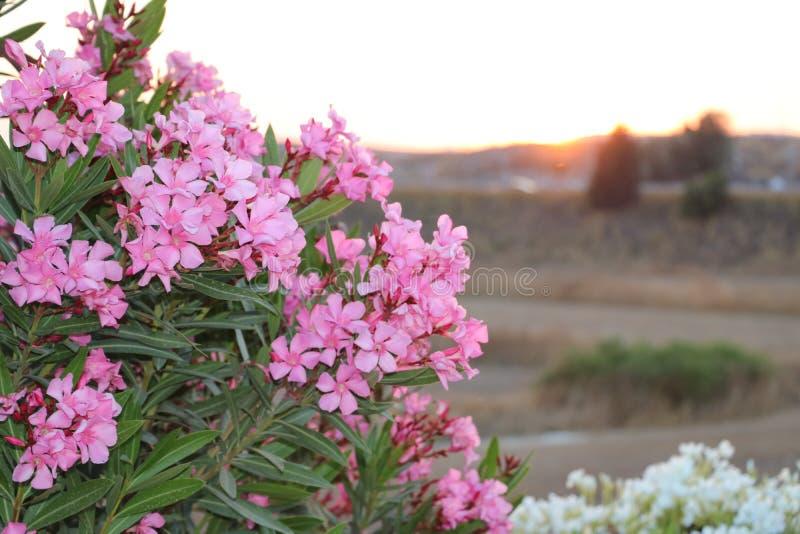 Blumen in schönem Zypern stockfoto