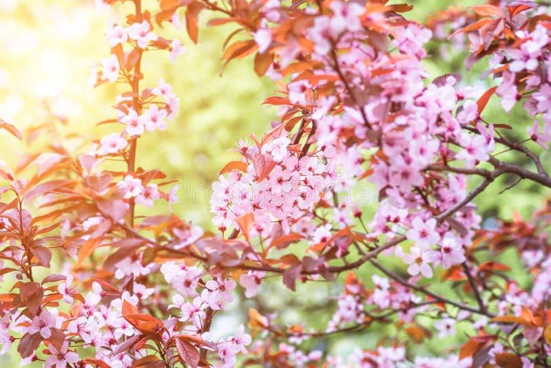 Blumen und junge Blätter des Kirschholzes Kirschblüte lizenzfreies stockfoto