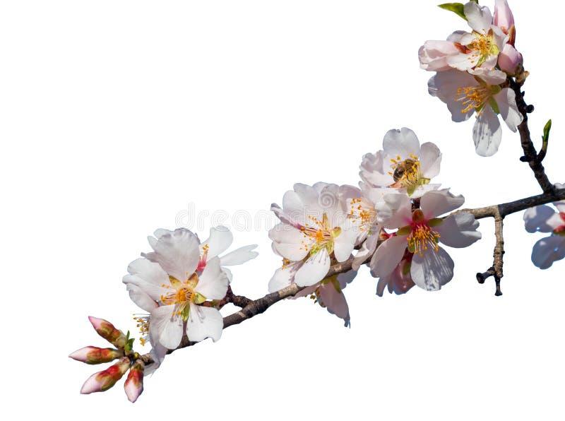 Blumen und Knospen der Mandel s auf der Niederlassung lokalisiert im weißen Hintergrund stockfoto