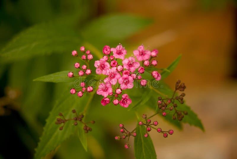 Blumen und Knospen von spirea stockfotografie