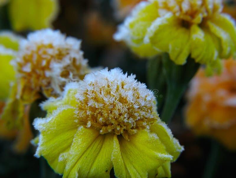 Blumen unter Hoar-frost lizenzfreie stockbilder