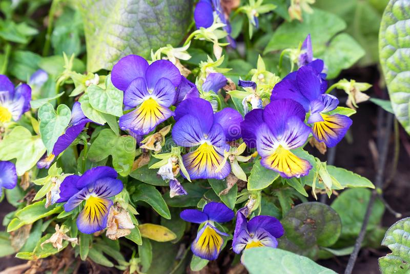 Blumen-Viola-dreifarbiges Stiefmütterchen auf natürlichem Hintergrund lizenzfreie stockfotos
