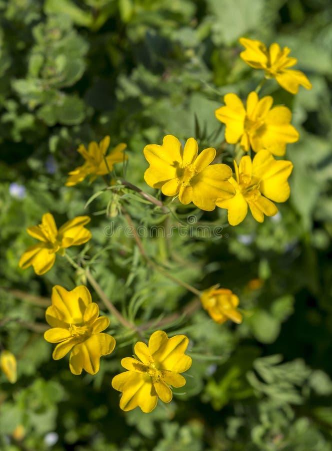 Blumen von Bartlos-petalled lizenzfreie stockbilder