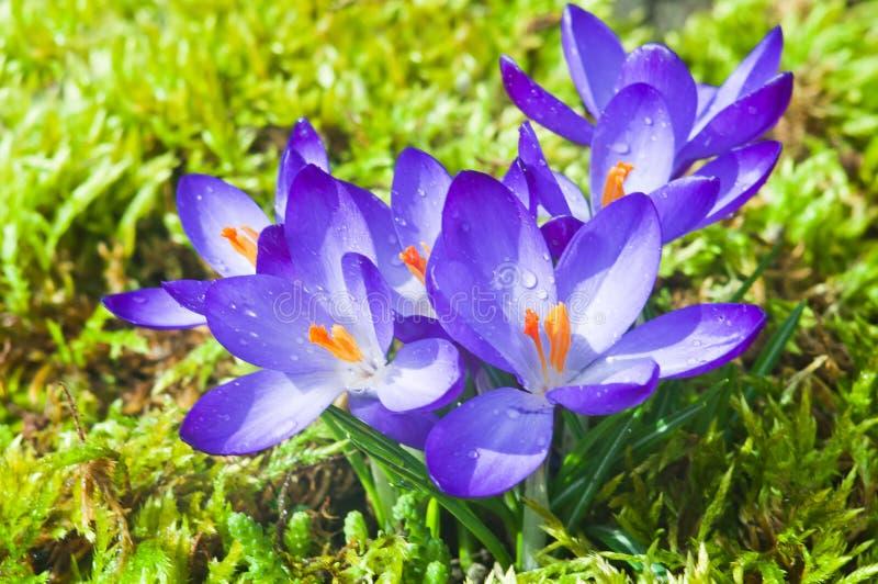 Blumen von blauen Krokussen an einem sonnigen Frühlingstag stockfotografie