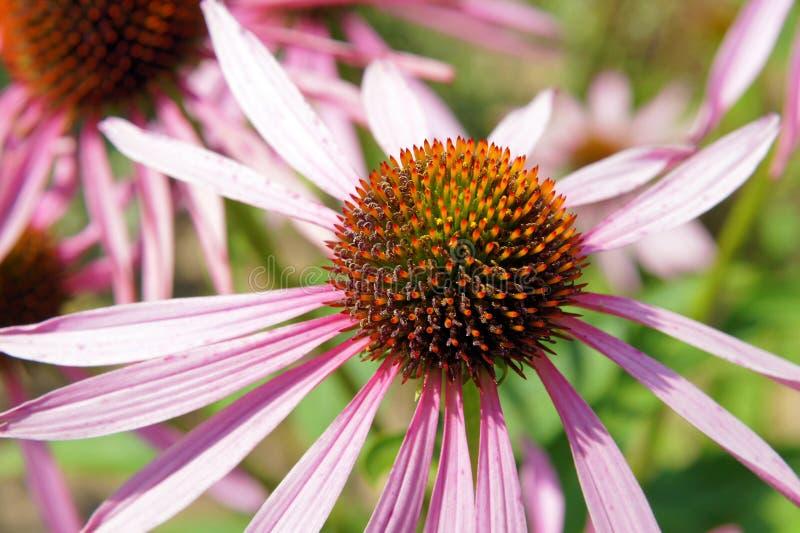 Blumen von Echinacea purpurea lizenzfreie stockfotografie