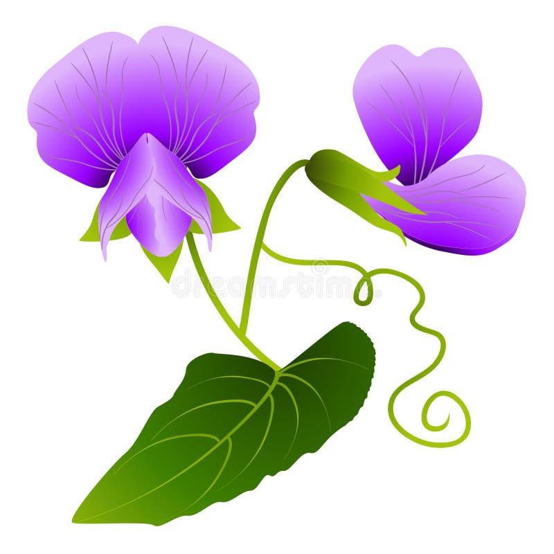 Blumen von Erbsen auf einem weißen Hintergrund lizenzfreie abbildung