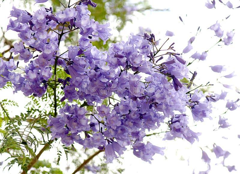 Blumen von Jacaranda. lizenzfreies stockbild
