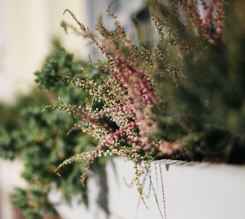 Blumen von rosa Heather mit grünen Blättern in der Stadtblumenbeetnahaufnahme Schönes dekoratives Grün und Gras stockfotos