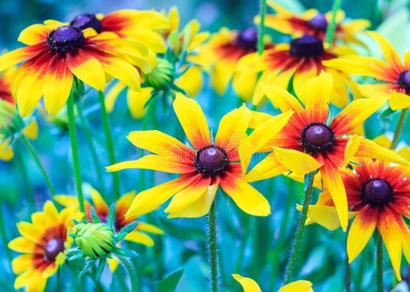 Blumen von Rudbeckia hirta, Blüten von schwarz-äugiger Susan im Garten am sonnigen Sommertag, Entwurf tonend stockbild