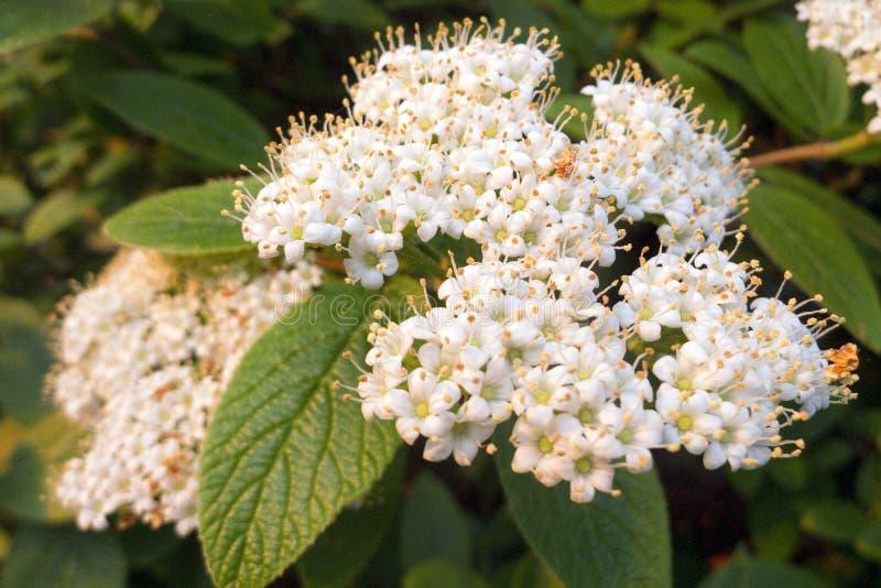 Blumen von Viburnum Lantana lizenzfreie stockfotografie