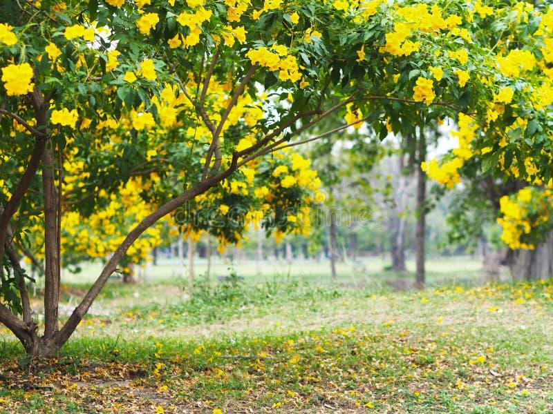 Blumenbäume gelbe Ältestes oder des Trompetenbusches lizenzfreie stockfotos