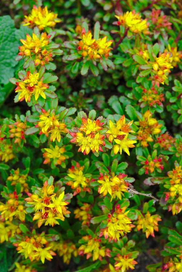 Blumenbeet der Mauerpfefferblume oder des Wandpfeffers stockfotos