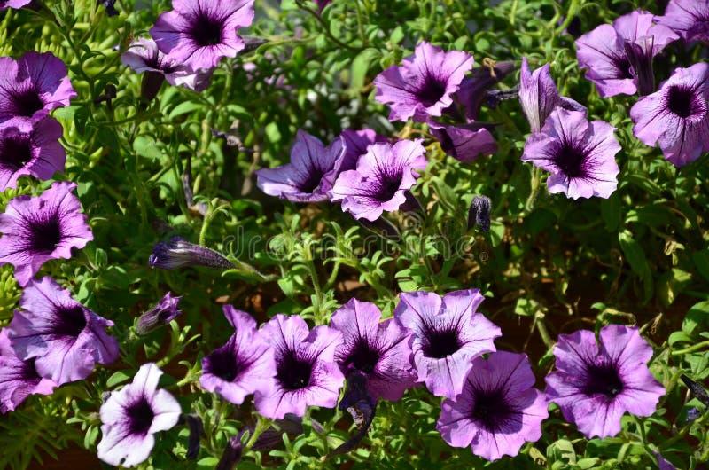 Blumenbeet mit mehrfarbigen purpurroten und violetten Petunien Makroschuß schöner bunter Petunie Petunie hybrida Blume stockfotografie