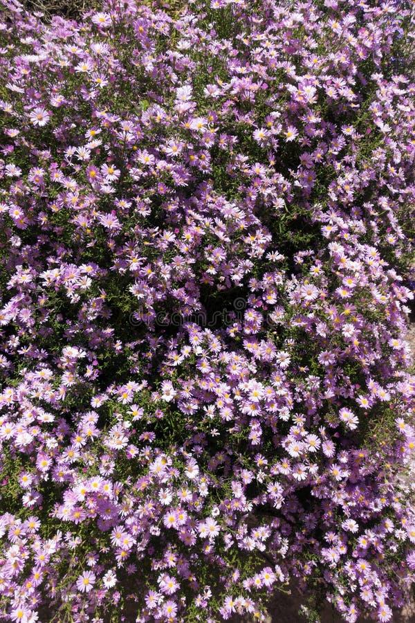 Blumenbeet mit rötlichen violetten Blumen von Michaelmas-Gänseblümchen stockfotos
