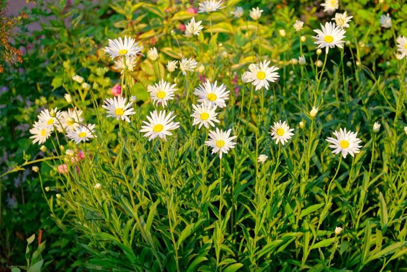 Blumenbeet mit Subventionskamille am Sonnenuntergangsommertag lizenzfreie stockbilder