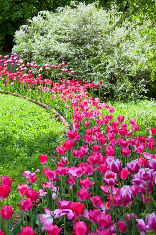 Blumenbeet von hellen klaren purpurroten Tulpen im formalen Frühling Garde lizenzfreies stockbild