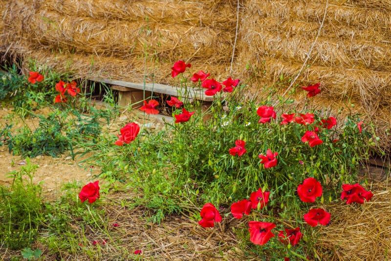 Blumenbeet von Mohnblumen stockbild