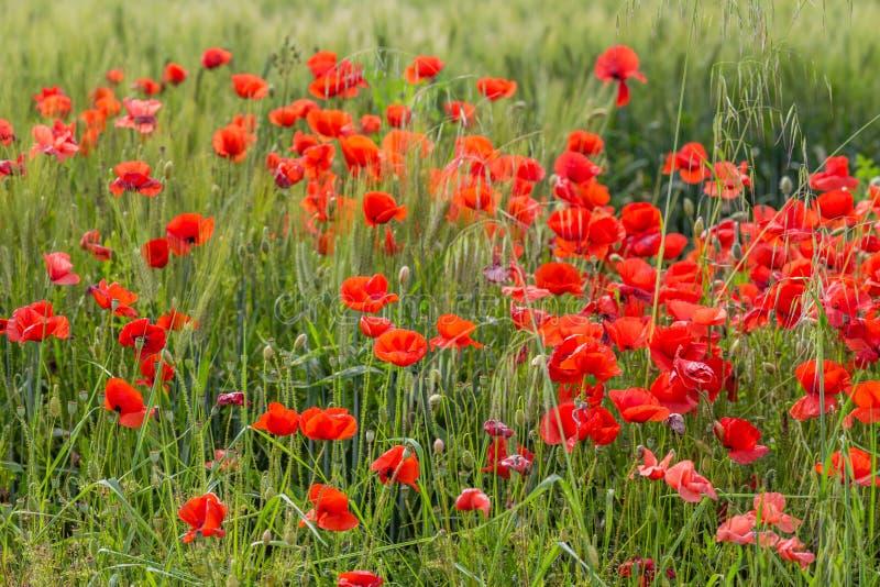 Blumenbeet von Mohnblumen lizenzfreies stockbild