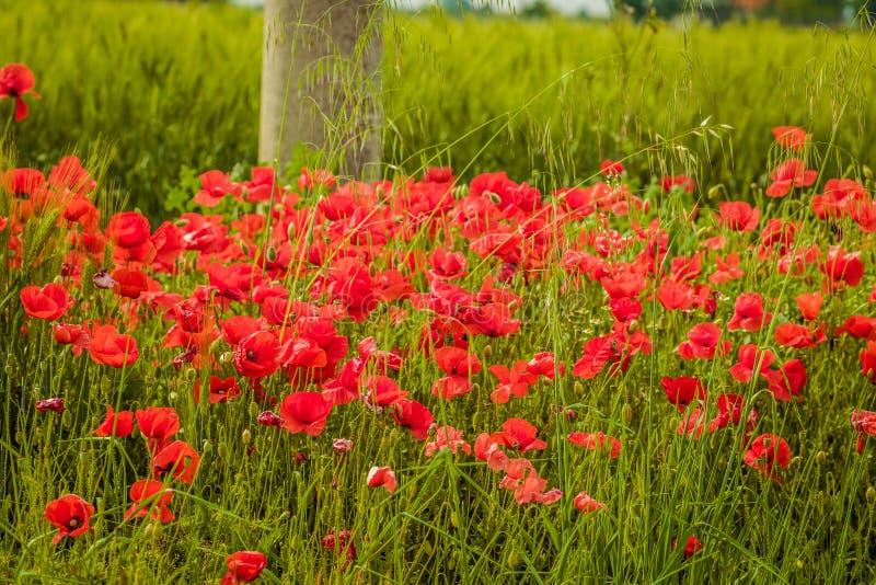 Blumenbeet von Mohnblumen stockfoto