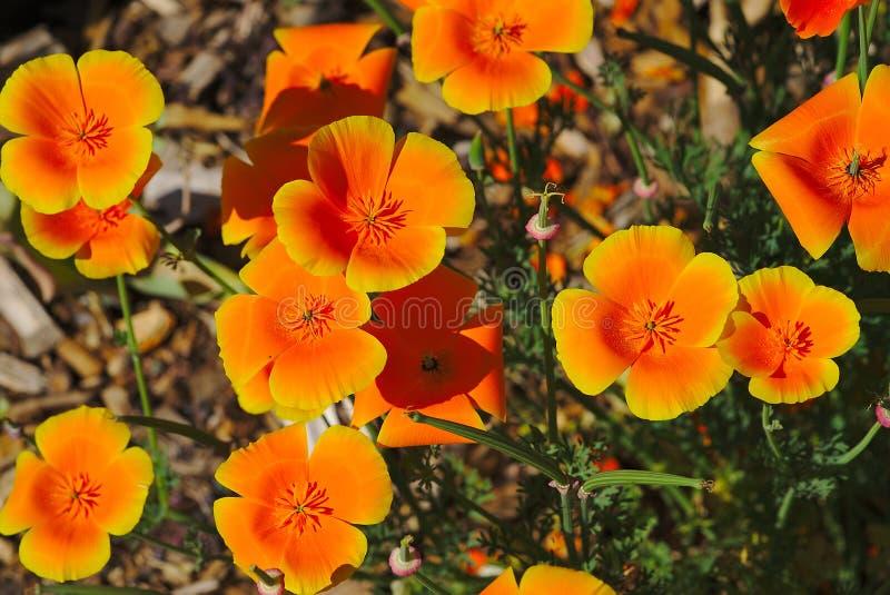 Blumenbeet von orange escholtzia Blumen stockfoto
