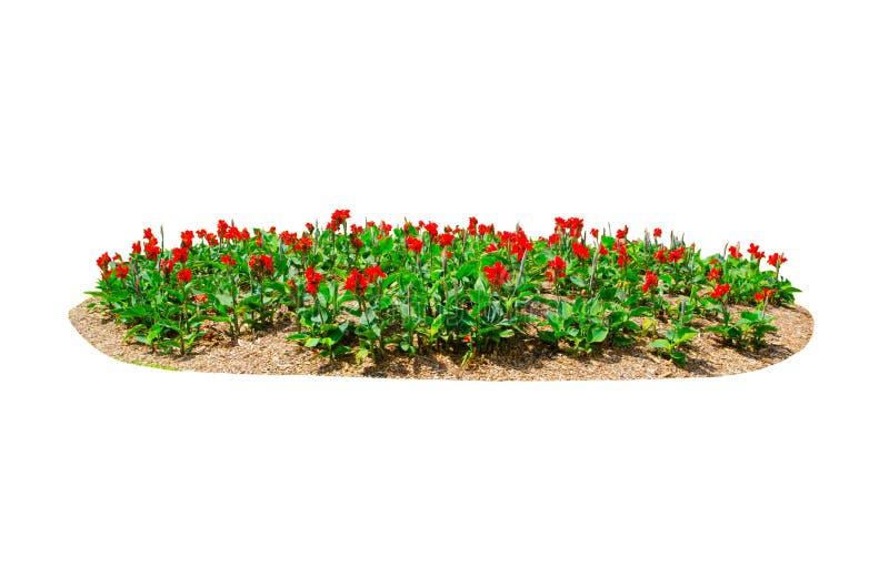 Blumenbeet von roten Canna-Lilie canna x generalis blühen lokalisiert auf weißem Hintergrund lizenzfreie stockfotos