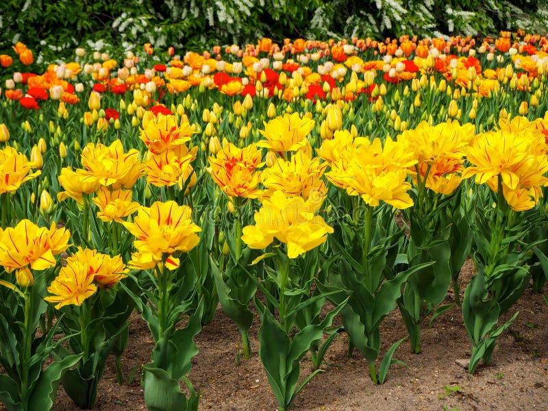 Blumenbeet von Tulpe Monsella großen gelben und roten abgestreiften Blumen mit den Knospen von verschiedenen Farbtulpen auf Hinte stockbilder