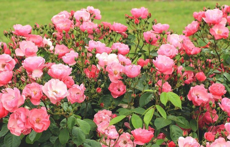 Blumenbeete von rosa Rosen lizenzfreie stockbilder