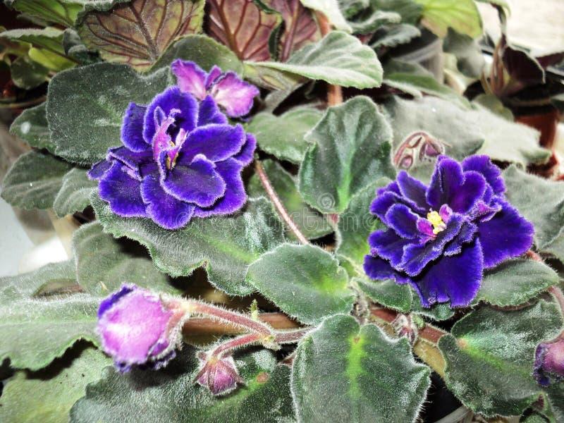 Blumenbetriebsblumen-Raumveilchen lizenzfreies stockfoto