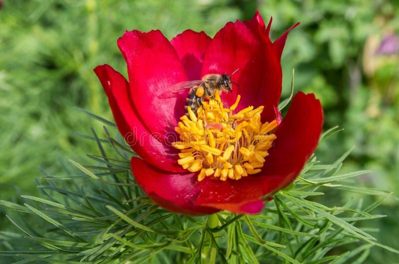 Blumenbiene lizenzfreies stockbild