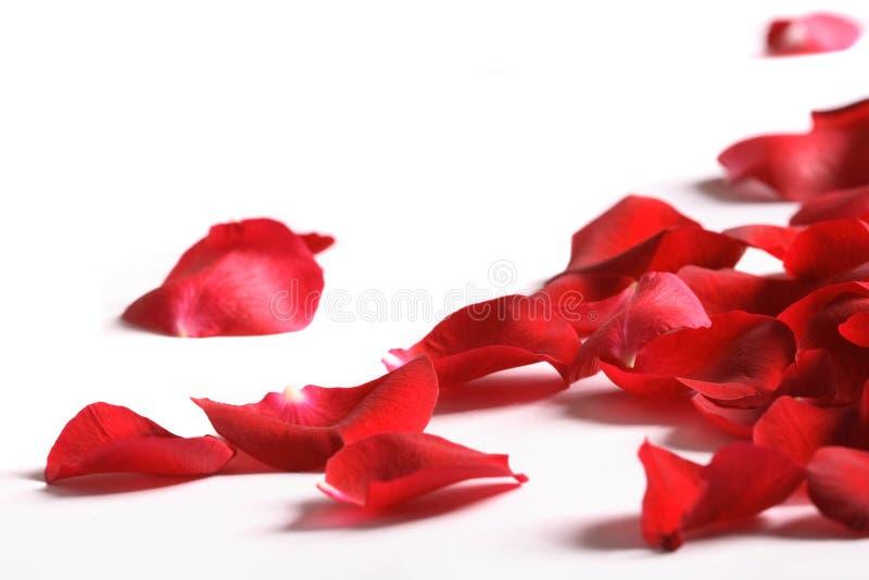 Blumenblätter einer Rose, auf einem weißen Hintergrund stockfotografie